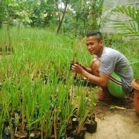 Rumput vetiver akar wangi tanaman penahan erosi