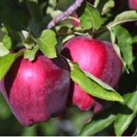 benih/biji buah apel red delicious whasington