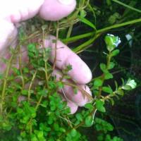 Tanaman Aquascape Ammania sp Bonsai