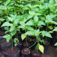 Bibit tanaman Cabe rawit putih