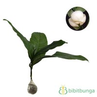 Tanaman Cempaka Telur Putih (Magnolia Coco)