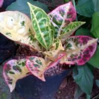 Bibit puring kura | tanaman hias tahan panas