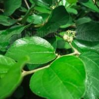 daun BIDARA Arab dengan kaya manfaat