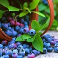 Benih /Bibit Buah Blueberry - Import