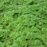 Azolla Mychrophylla