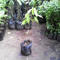 bibit durian pelangi unik, Aneka Warna Pada Daging Buah | WBP