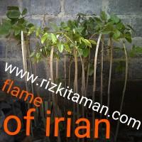 Jual flame of irian | tanaman rambat | 081519198697