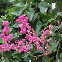 tanaman rambat air mata pengantin di sukai kelanceng