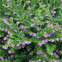 taiwan beauty | tanaman list untuk taman bunga