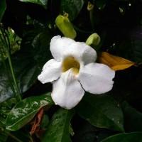 thunbergia putih, tanaman rambat bunga putih