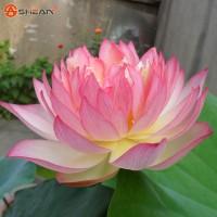 Benih Biji Bibit Bunga Teratai Lotus Pink Bowl Import