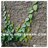 Jual tanaman dollar rambat | tanaman rambat dinding