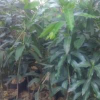 Pohon Mangga Harum Manis