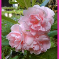 Pacar Air Bunga Tumpuk Warna Light Pink