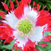 Poppy Victoria Cross (25 biji) / Bibit Benih Biji Tanaman Bunga Hias