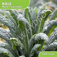1000 Seed - Benih Kale Lacinato / Nero Import