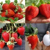 100 Biji Benih Buah Stroberi Red Giant Strawberry Fragaria Ananassa