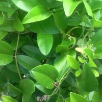 Daun cincau hijau rambat segar