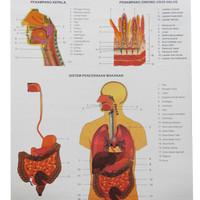 Carta (Poster) Sistem Alat Pencernaan Makanan Manusia
