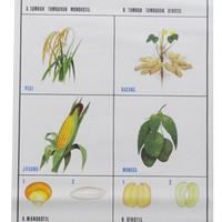 Carta (Poster) Tumbuh-Tumbuhan Dikotil dan Monokotil