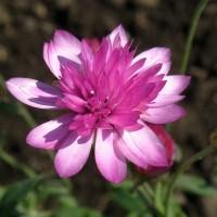 50 Biji Bunga Abadi Xeranthemum Lumina Everlasting Flower Bibit Benih