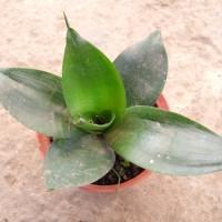 Mini Sansevieria-Green