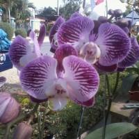 bibit bunga anggrek koleksi