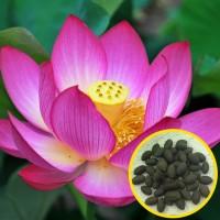 Jual Benih bibit biji tanaman Bunga Lotus Teratai Murah