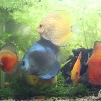 ikan discus dan ikan cupang hias/adu