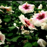 TANAMAN HIBISCUS WHITE PURPLE (IMPORT )