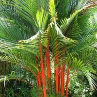 biji benih tanaman hias Palem Merah (Lipstick Palm