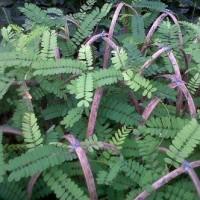 harga bibit pohon saga | tanaman rambat herlbal Tokopedia.com