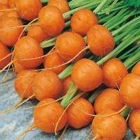 Harga benih biji bibit wortel bulat carrot paris market 5 atlas import   Hargalu.com