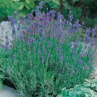 Benih Biji Bibit Tanaman Bunga Lavender Munstead Strain Import UK