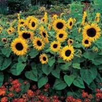 Jual biji Benih Bibit Bunga Matahari Sunflower Alchemy Murah