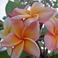 biji benih bunga Plumeria Stenopetala