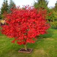 Bibit Maple Jepang Inazuma Tree Red Maple Pohon Maple Unik