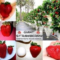 Bibit / Benih / Seeds Fruit Strawberry Giant Biji Buah Strawberi