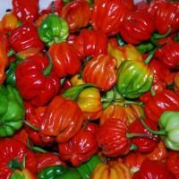 Bibit / Benih / Seeds Cabe Unik Aji Dulce Pepper Ornamental Pepper