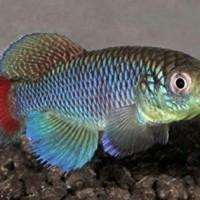 Killifish Nothobranchius Jubbi Blue