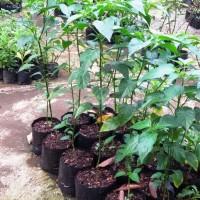 Bibit tanaman Cabe rawit putih besar