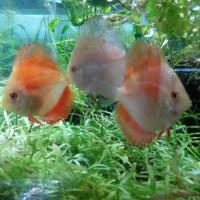 Ikan Hias Discus Jenis Red Melon