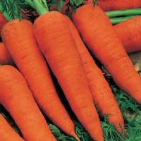 Harga benih biji bibit wortel unggulan carrot autumn king import   Hargalu.com