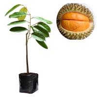 Bibit Buah Durian Simas - Tinggi 50cm