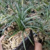Jual Kucai Mini Tanaman Hias Pengganti Rumput Murah