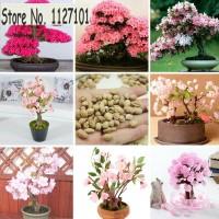 harga Benih Bonsai Japanese Sakura (Cherry Blossom) Tokopedia.com