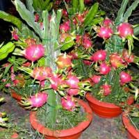 benih biji buah-naga-dalam-pot