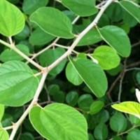 daun bidara kaya manfaat