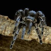 Aphonopelma seemanni tarantula