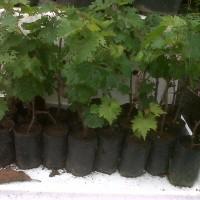 Bibit Anggur Tanaman Anggur Pohon Anggur Bisa Pakai Gojek
